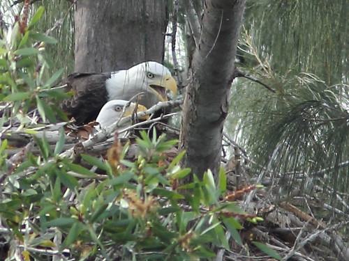 Two adult Bald Eagles at nest 2-20111005 | by Kenneth Cole Schneider