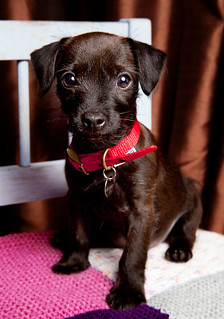 Our Puppy Terrier Cross - Chloe [Explored] | by Ian A Robertson