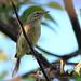 Palm Warbler 20111011