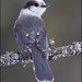 Gray Jay look back