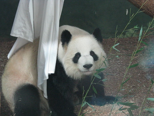 Zoo Atlanta Lun Lun | by Tai.Shar