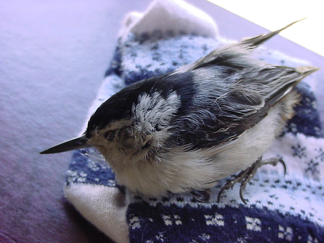 Cat-injured White-breasted Nuthatch