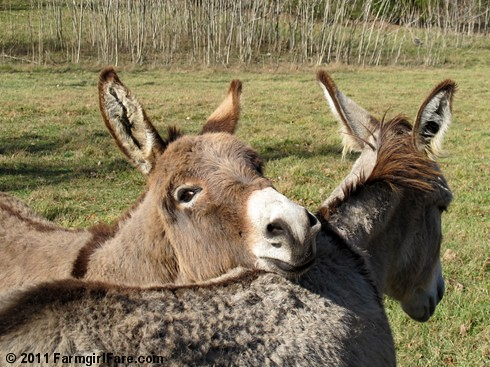 Gus resting his chin on mama Daphne's back | by Farmgirl Susan