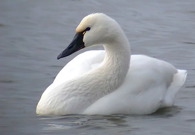 Fun Facts About Tundra Swan | Rahul Singh | Flickr