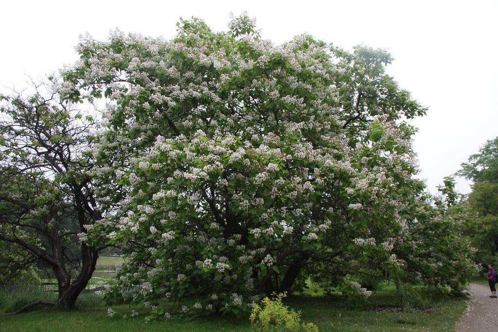 catalpa bignonioides habitus gew hnlicher trompetenbaum. Black Bedroom Furniture Sets. Home Design Ideas