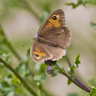 Meadow brown butterfly (Maniola jurtina) | by Roland Bogush