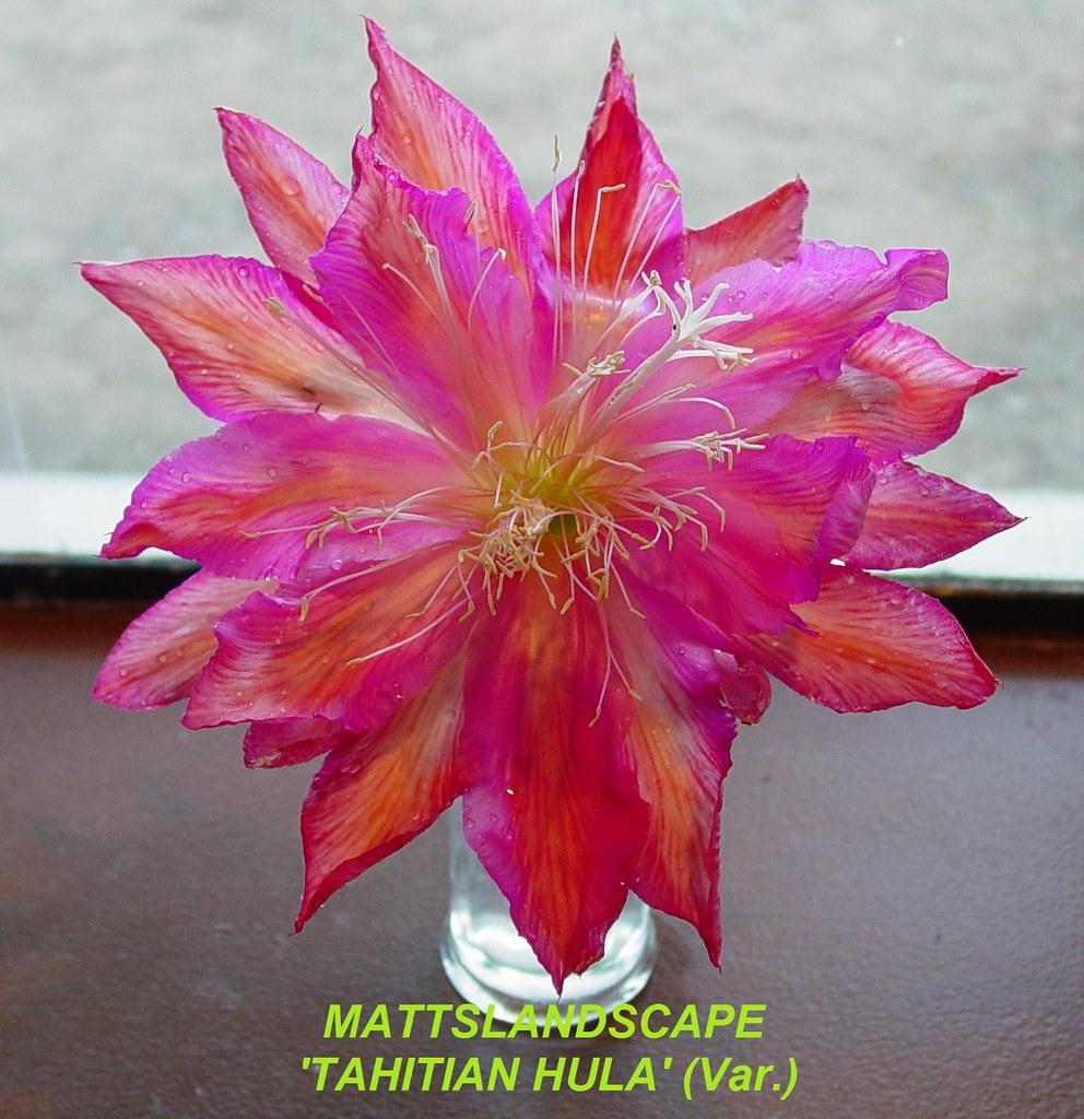 tahitian hula epiphyllum cv var   pic 2