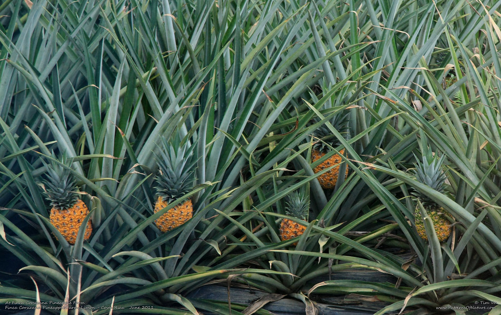 At Finca Corsicana Pineapple Farm Tim Vo Flickr
