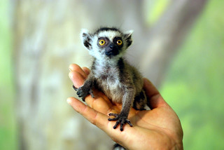 Ring tailed lemur | by floridapfe