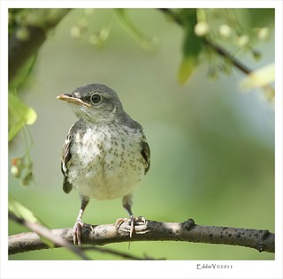 Curious Young Mockingbird | by Eddie_NewYorkNature