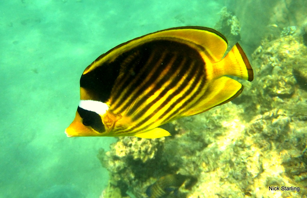 Excellent, Info on striped butterfly fish question