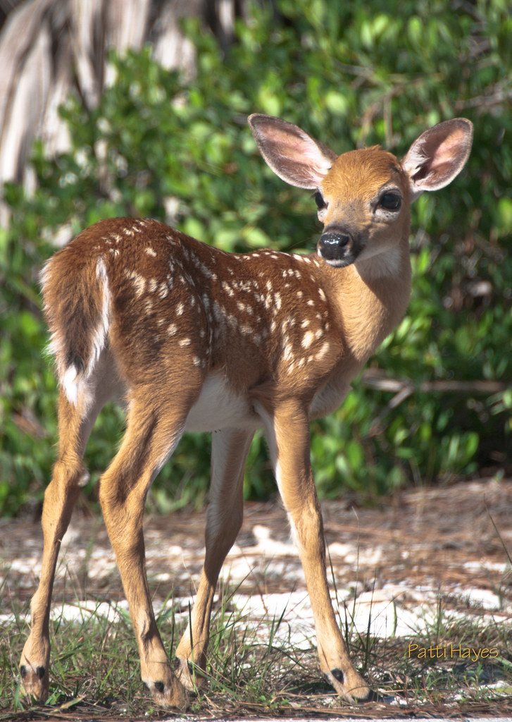 Baby Key Deer | One of three baby Key Deer at the side of ... - photo#33