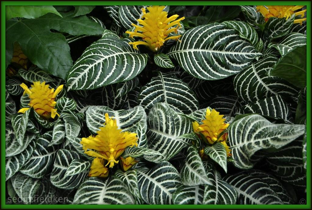 Aphelandra squarrosa. 'Louisae' | Other names, Zebra plant ...