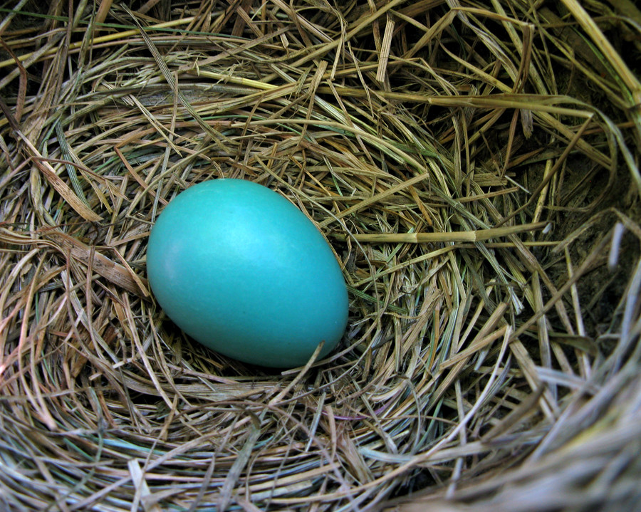 one robin egg 9454 this nest is situated on top of a
