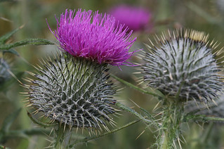 Spear Thistle, Cirsium vulgare | by Shandchem