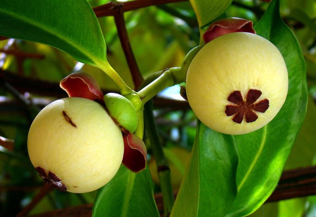 Mangosteen florida