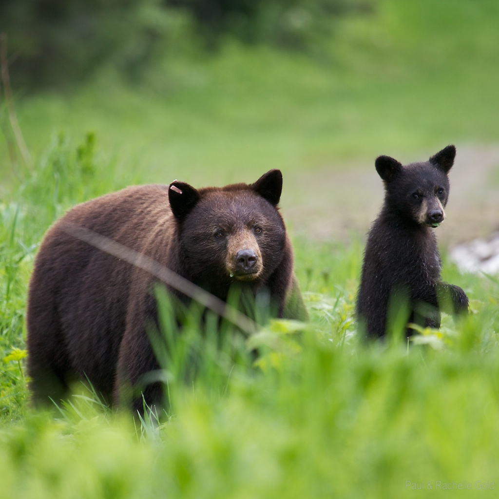 Baby Animal Pictures - Animal Wallpapers - National Geographic Baby black bear pictures
