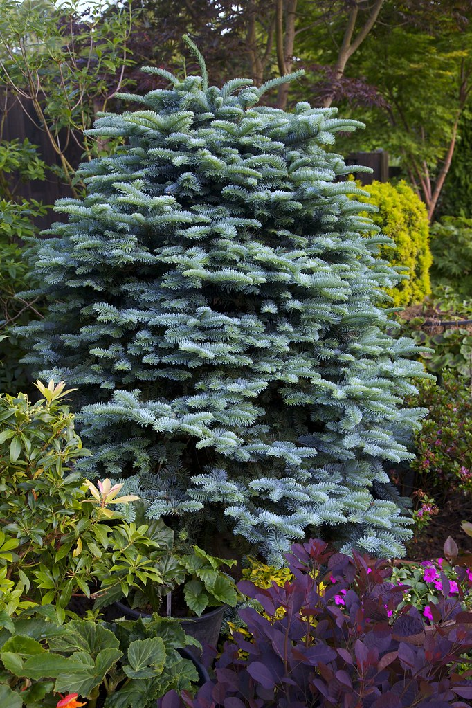 abies procera 39 glauca 39 noble fir we use many different. Black Bedroom Furniture Sets. Home Design Ideas