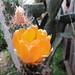 Prickly Pear Blossom