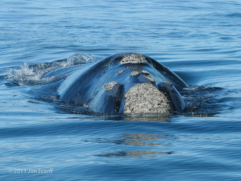 Southern right whale approaching | Note the very small ...