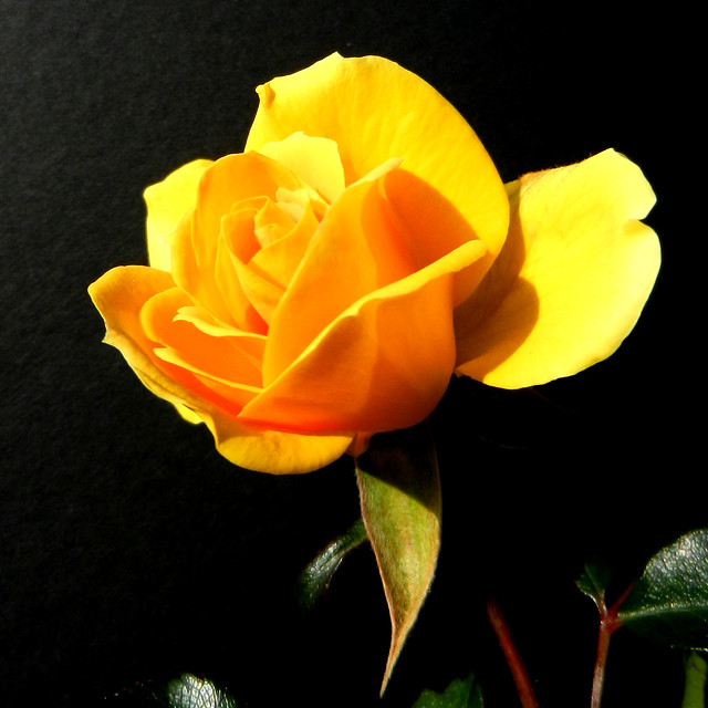 Yellow rose with black background | Flickr - Photo Sharing!