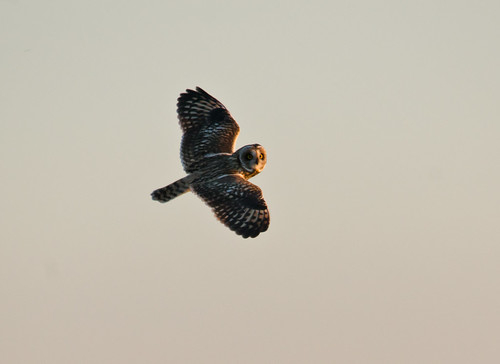 Short-eared Owl | by Darren Olley (offline)