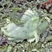 Schaukelfisch - Leaf scorpionfish - Taenianotus triacanthus
