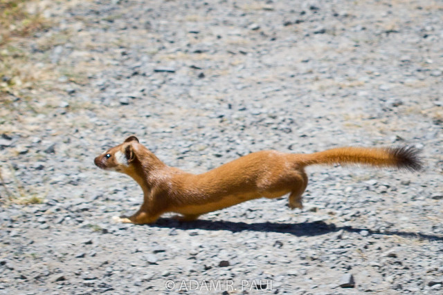 Long Tailed Weasel Flickr Photo Sharing