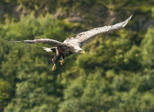 Whitetailed Eagle | by IPM.UK