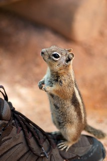 golden-mantled ground squirrel | by julesberry2001