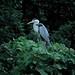 Grey heron in the Fudoh Pond (1/2)