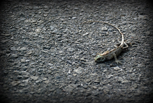 dead lizzard | by shambe
