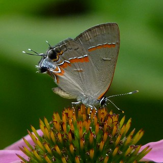 Red-banded Hairstreak | by Dendroica cerulea