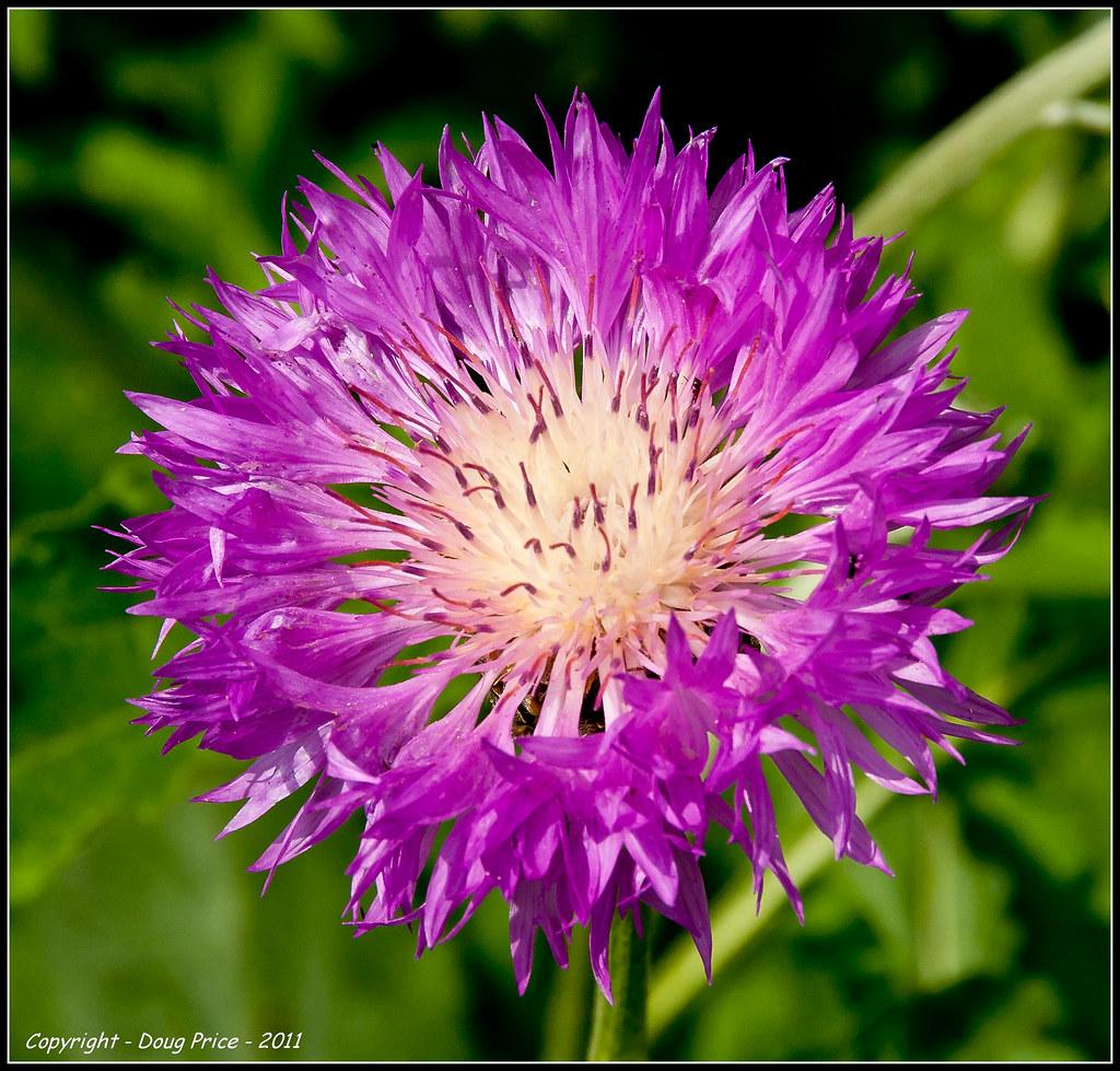 Pink And Yellow Cornflower Centaurea Hypoleuca Also Know Flickr