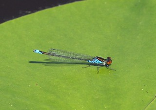 Small Red-eyed Damselfly (Erythromma viridulum) Male | by Rezamink