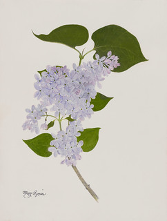 Syringa vulgaris 'President Lincoln' 2010 | by Brooklyn Botanic Garden