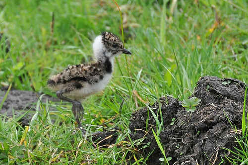 Lapwing chick, South Pennines 6 July 2011 | by Tim Melling