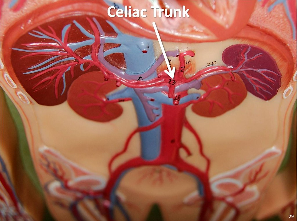 Celiac Trunk The Anatomy Of The Arteries Visual Guide P Flickr
