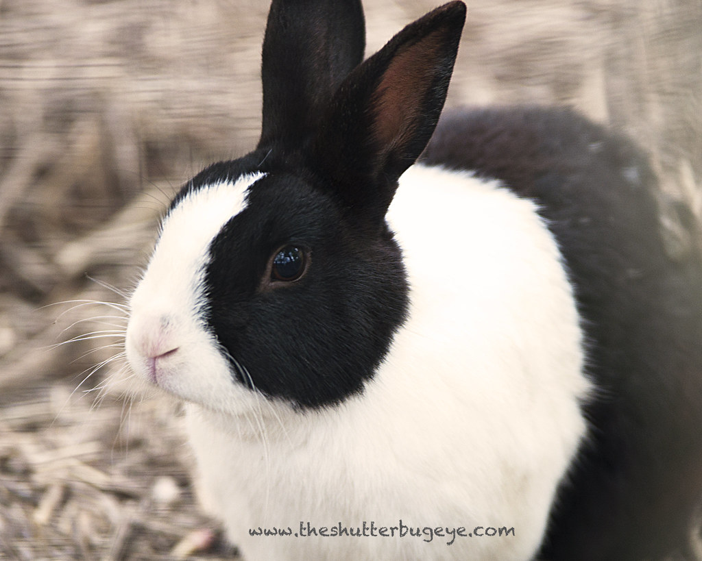 Black and white rabbit | Cute black and white bunny June 2 ...