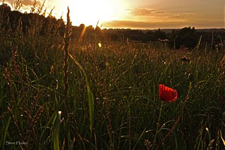 Evening poppy | by parallax.