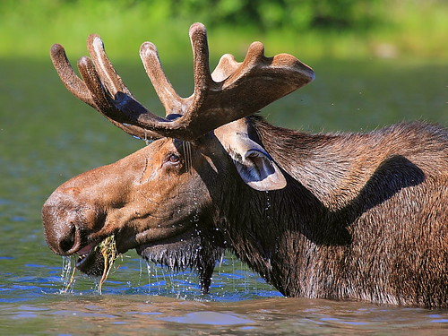 IMG_5123 Moose, Glacier National Park | by ThorsHammer94539