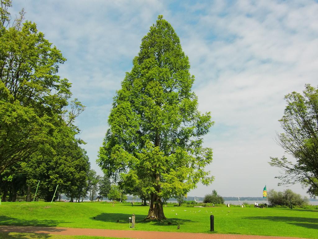 urweltmammutbaum dieser urweltmammutbaum im kurpark von. Black Bedroom Furniture Sets. Home Design Ideas
