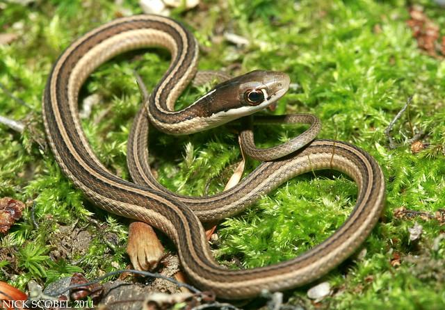 Eastern Ribbon Snake |...