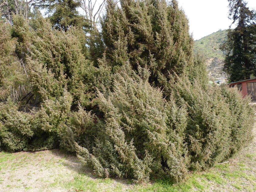 Cupressaceae juniperus comunis l jard n bot nico for Jardin botanico vina