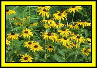 """Black - Eyed Susans"" 