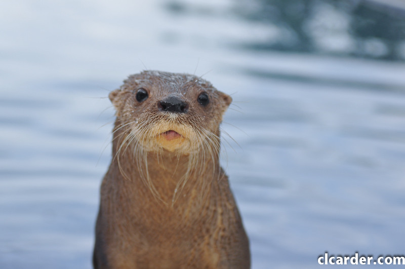 Neotropical Otter - Near Threatened Species