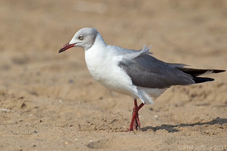 Gray-hooded Gull | by phil.jeffrey