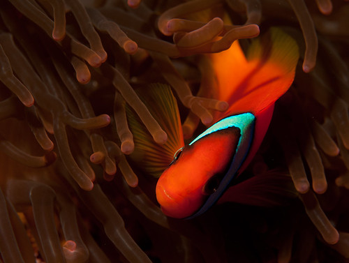 Tomato anemonefish - Amphiprion frenatus | by Okinawa Nature Photography