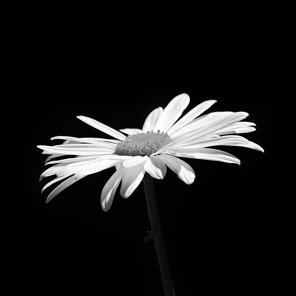 Fashion style White and Black photography of daisies for woman