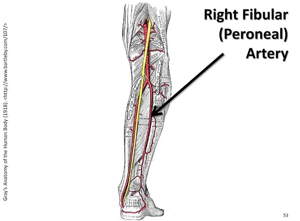 Right Fibular Peroneal Artery The Anatomy Of The Arter Flickr